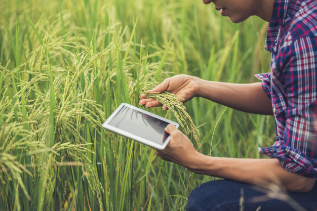 farmer standing rice field with tablet 1150 6062